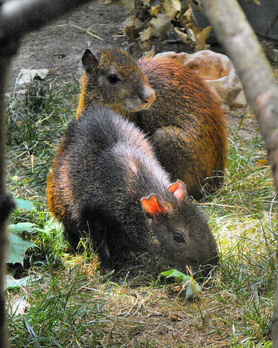 Brazilian Agouti (Dasyprocta leporina)