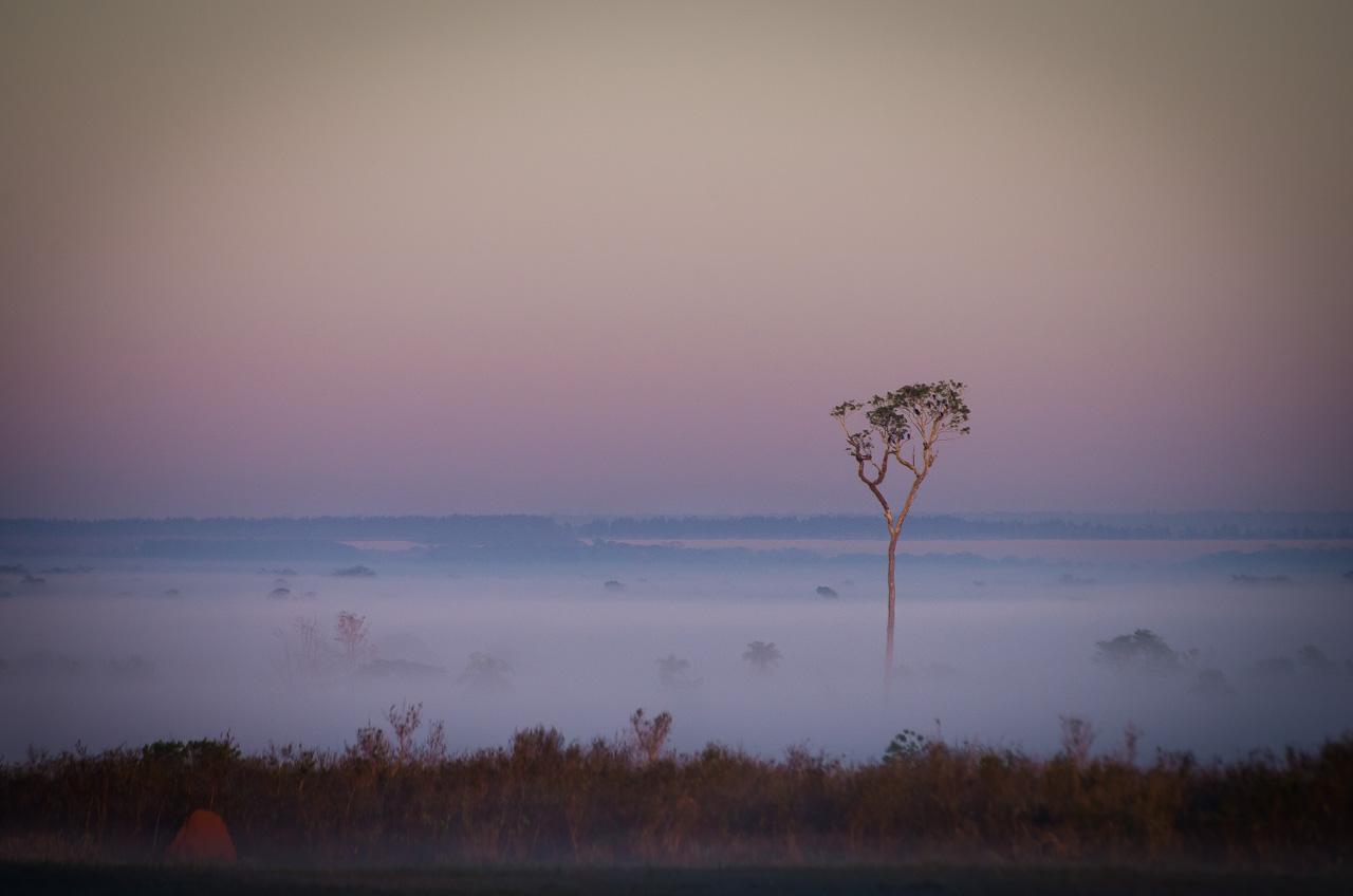 Un altísimo árbol puede verse a lo lejos entre las neblinas mientras está amaneciendo en las afueras de la Reserva Morombí. (Elton Núñez)