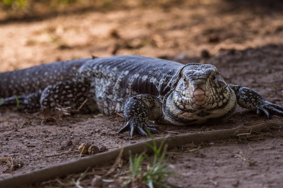 Un teju guasu hu (Tupinambis merianae) descansaba en la sombra, a escasos metros de la Estación Biológica Tres Gigantes. (Tetsu Espósito)