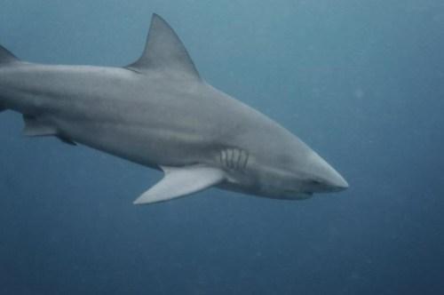 sail-rock-bull-shark-3