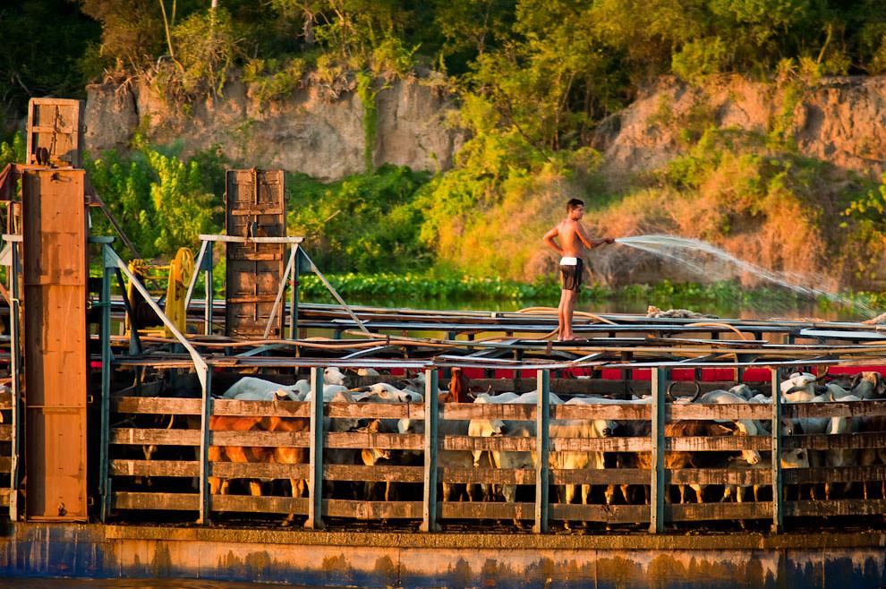 Vacas son transportadas por barco, mientras que un tripulante las refresca con agua, debido a la extensa exposición del ganado al calor del sol, foto tomada durante nuestro regreso a Concepción. (Elton Núñez)