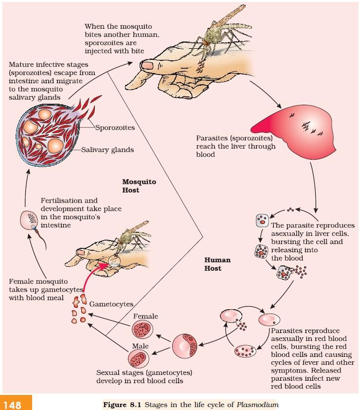 Entamoeba histolytica is a  Labelled Diagram Of Plasmodium