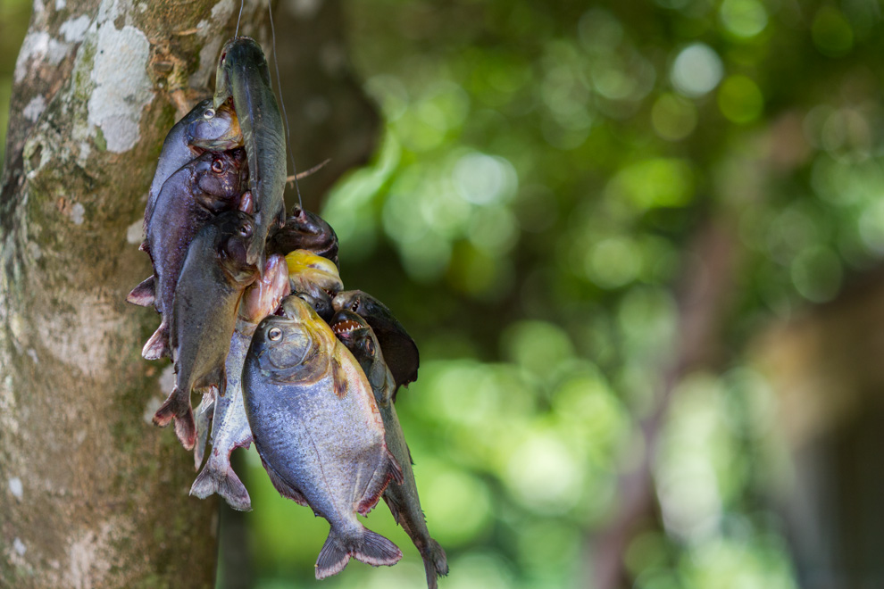 Pirañas recién pescadas servirán para el tradicional pira caldo (caldo de pescado) que se servirá en la cena. (Tetsu Espósito)