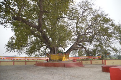 Lord Buddha's Ashes were distributed under this tree