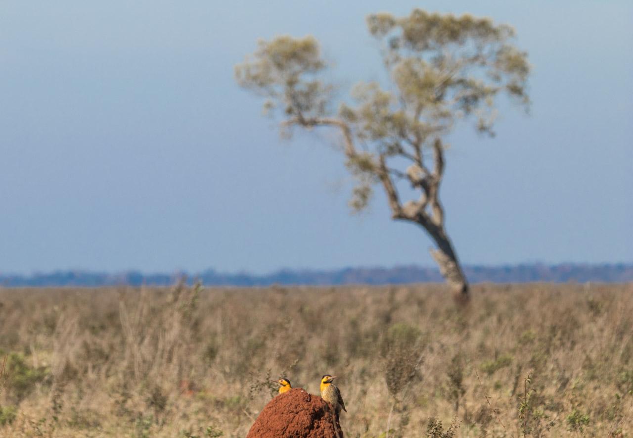 Una pareja de carpinteros campestres (Colaptes campestris), también conocidos como Ypekú Ñú, se alimentan de un takurú o nido de termitas, en medio de un pastizal. (Tetsu Espósito).