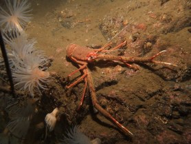 Long-clawed Squat Lobster