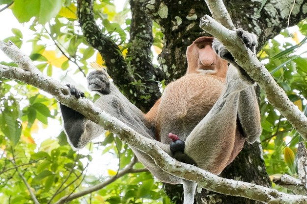 Ready for action. Proboscis monkey at Bako National Park