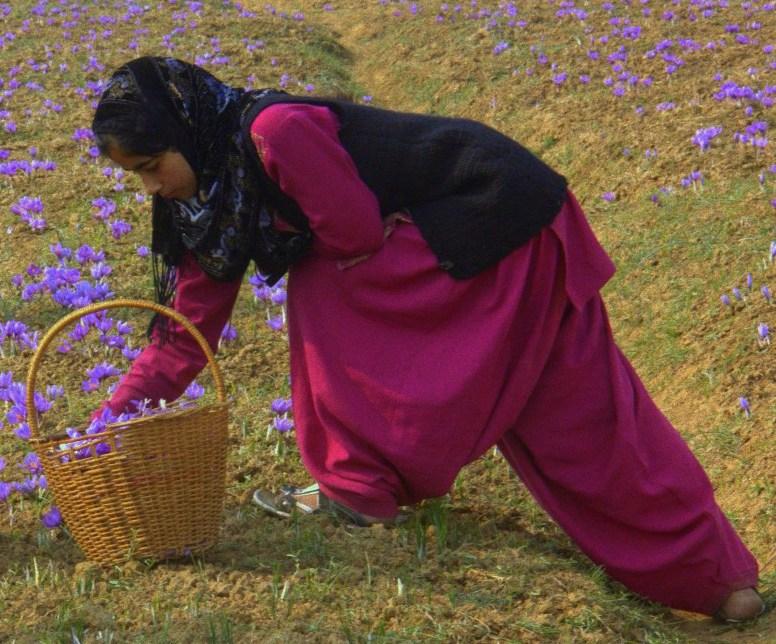 A saffron farmer family at work in Pampore
