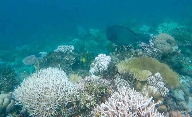 Bumpheads! Bolilanga house reef