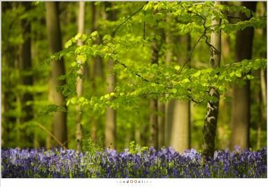 Beukenbladeren en hyacinten van het Hallerbos in het zonlicht