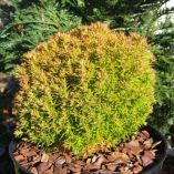 Thuja occidentalis 'Aniek'