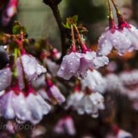 Dreamy cherry blossoms