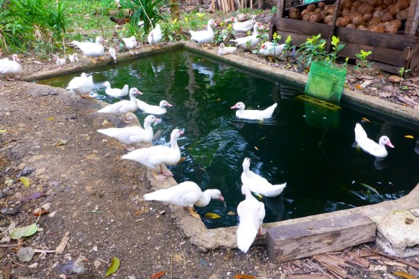 The duck population grows and becomes crowded so we need to sell some ducks.