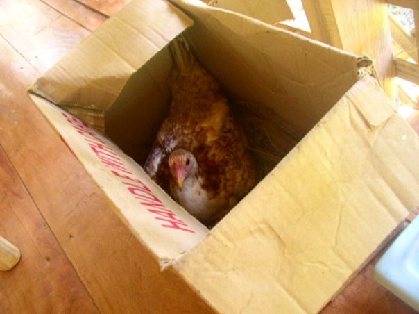 We let the hens lay their eggs inside the house, resulting in mites problem at home and hens insisting to go in the house. Here is a hen inside a box under the table on the balcony.