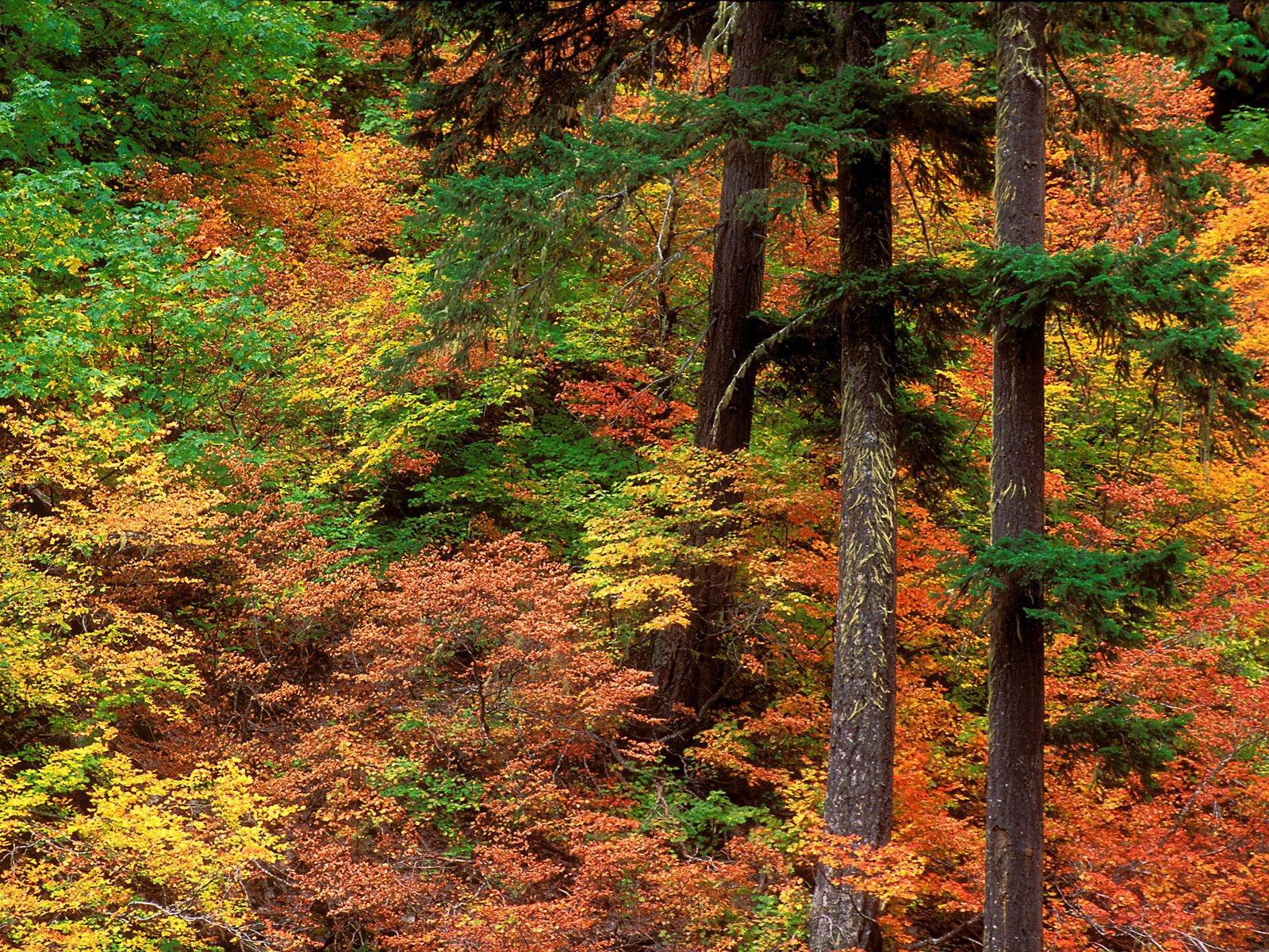 Fall Leaves Fox Wallpaper Hutan Alami Fauna Dan Flora