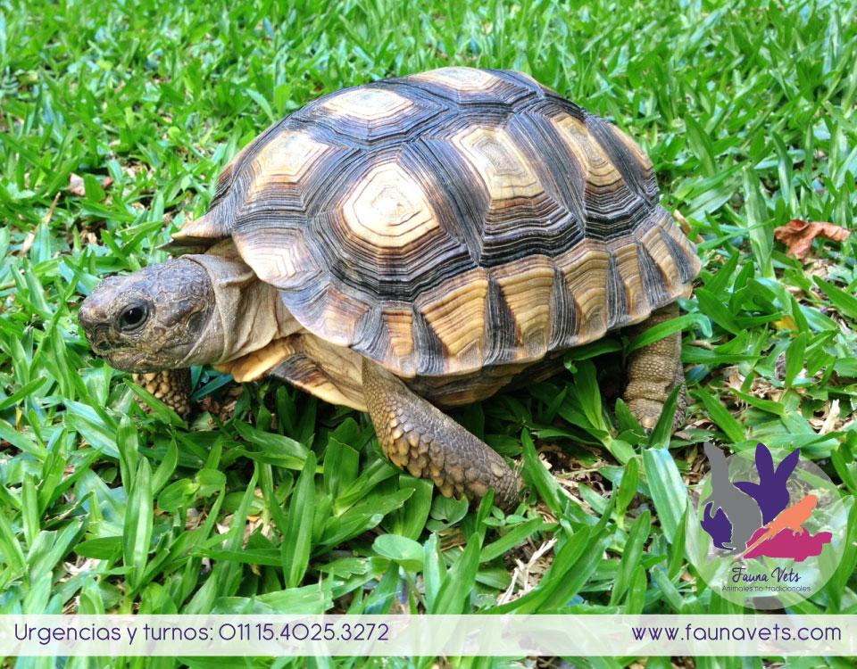 que comen las tortugas terrestres veterinario tortuga