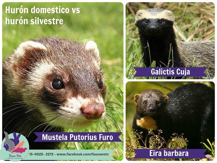 huron Archivos - Fauna Vets