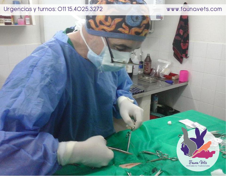intususcepción en hurón - veterinario hurones