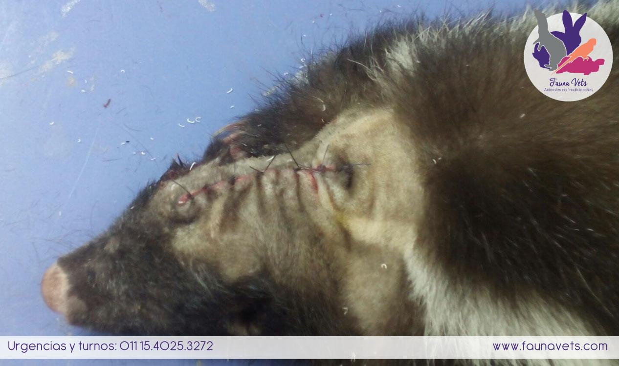 Zorrino herido, veterinario exoticos buenos aires