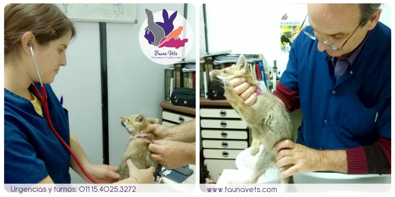 Zorrita encontrada - veterinario zorro silvestres