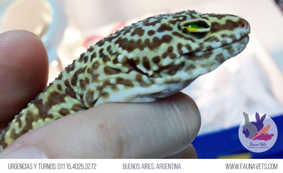 Gecko Leopardo con conjuntivitis
