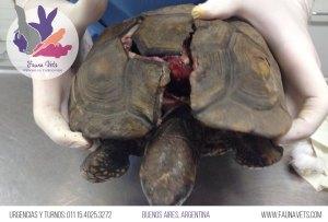 Tortuga atropellada - arrollada por un carro - auto - caparazon roto - quebrado - veterinario tortugas