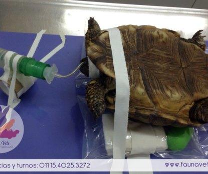 Celotomia - Cirugia tortuga - desnutricion - huevos retenidos