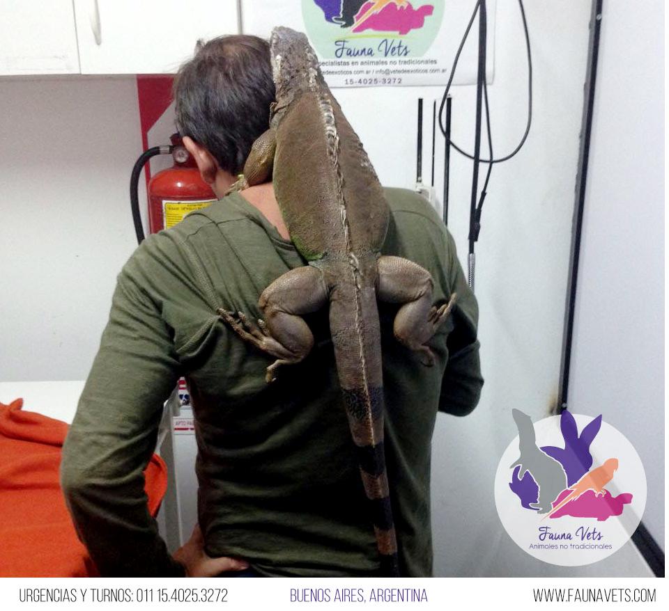 Iguana sin apetito - control veterinario