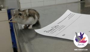 Hamster ruso pata amputada veterinario exoticos buenos aires