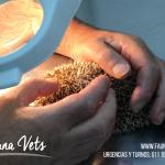 erizo-pigmeo-africano-veterinario-corte-tuerto-exoticos-fernando-pedrosa-acaros
