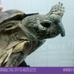 tortuga con pico largo prolapso de vejiga veterinario exoticos buenos aires fernando pedrosa 2