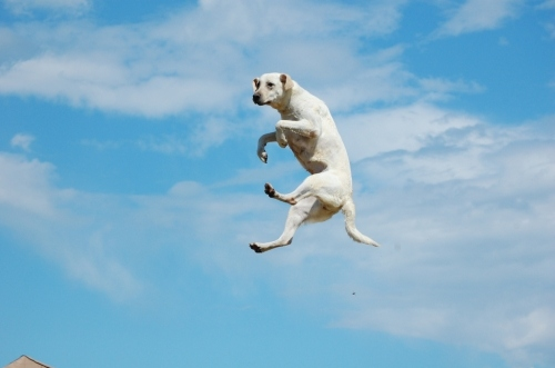 Girl Falling Through The Air Wallpaper Dog Flying Jump Labrador Photo Sky Image 14196 On