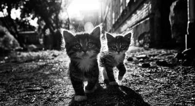 One Direction Cute Wallpaper Animal Black And White Black White Cat Cats Image