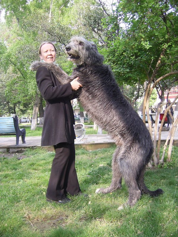 Boy And Girl Wallpaper With Quotes Irish Wolfhound Fav Images Amazing Pictures