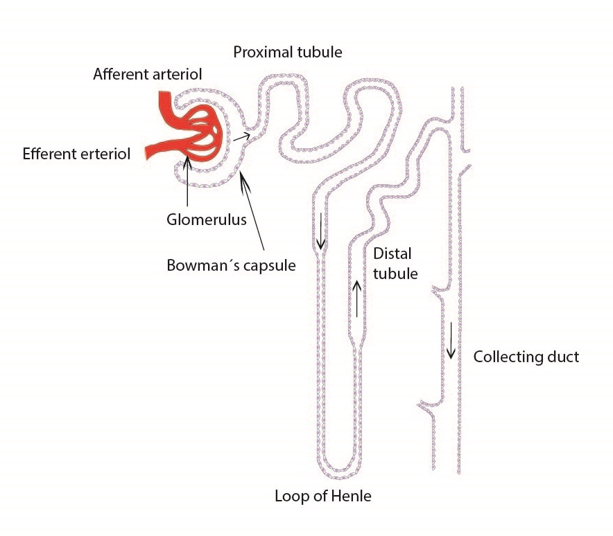 simple nephron diagram labeled labeled diagram of nephron