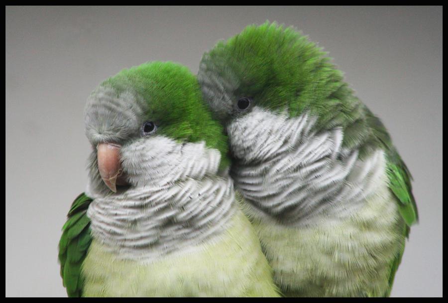 Cute Parakeet Wallpaper Quaker Parrot By La Niebla On Deviantart