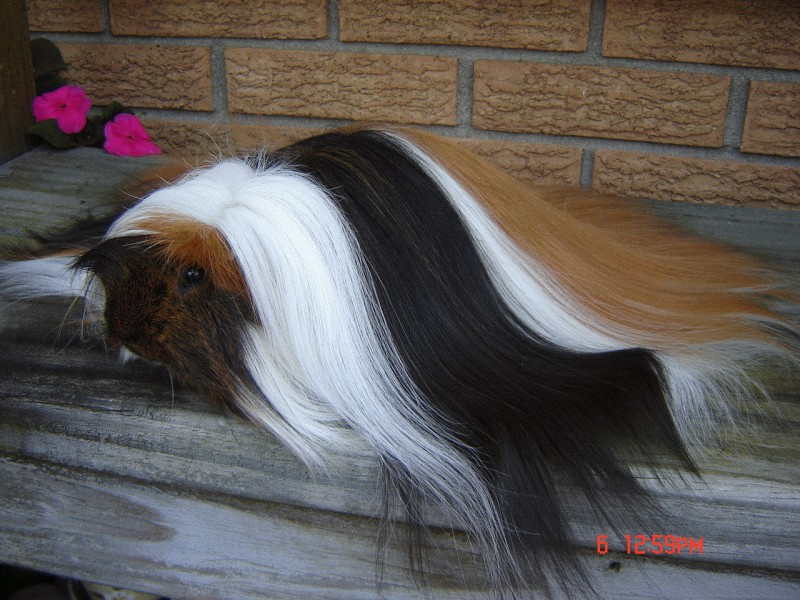 7 Bizarre Breeds of Guinea Pigs Featured Creature