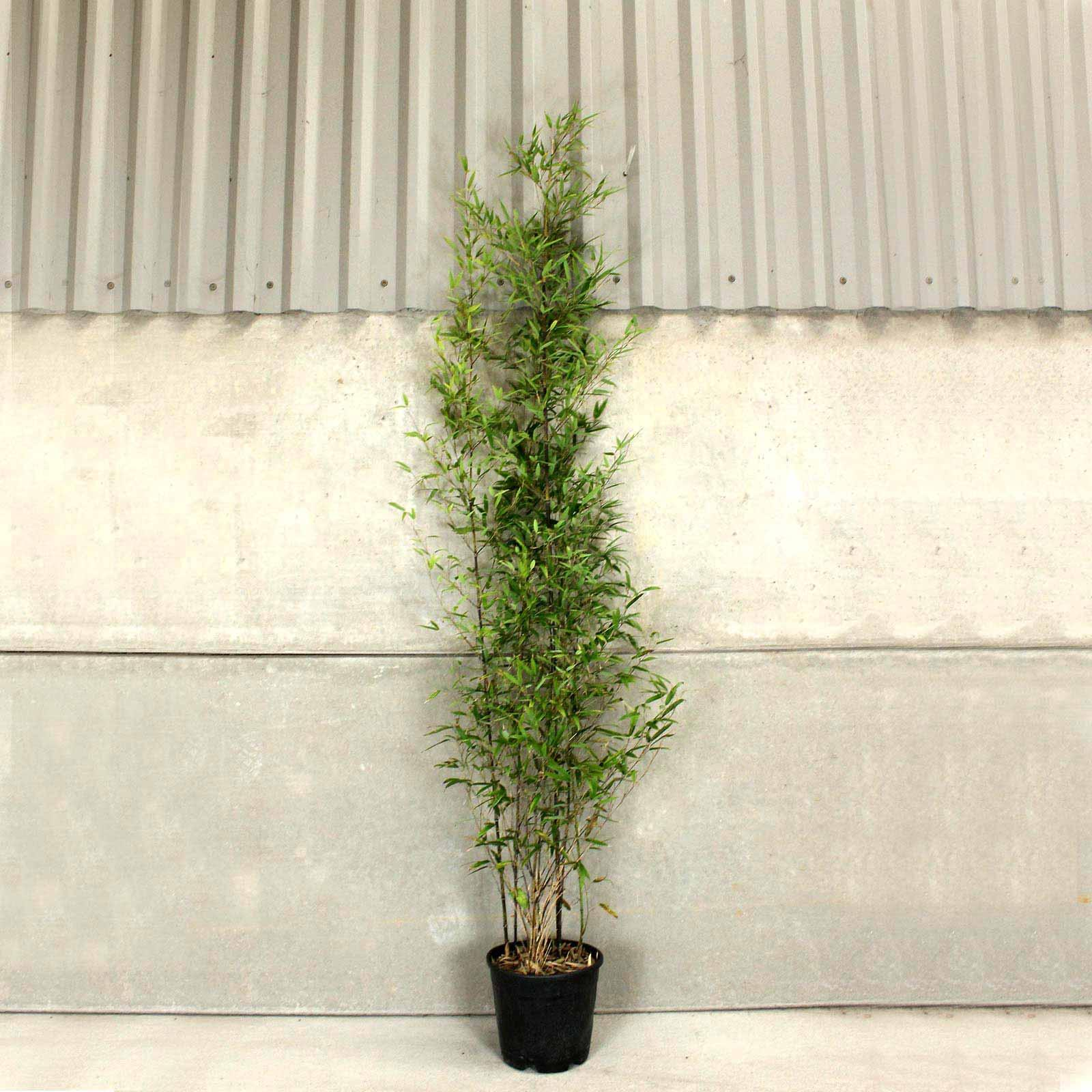 Phyllostachys Nigra In Pots Black Bamboo 100 120cm 10l Pot Reviews Hedges Direct Ltd Reviews