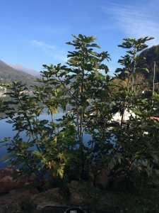 Wilder Feigenbusch am Lago di Lugano Ponte Tresa