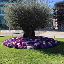 Olivenbaum am Lago di Lugano