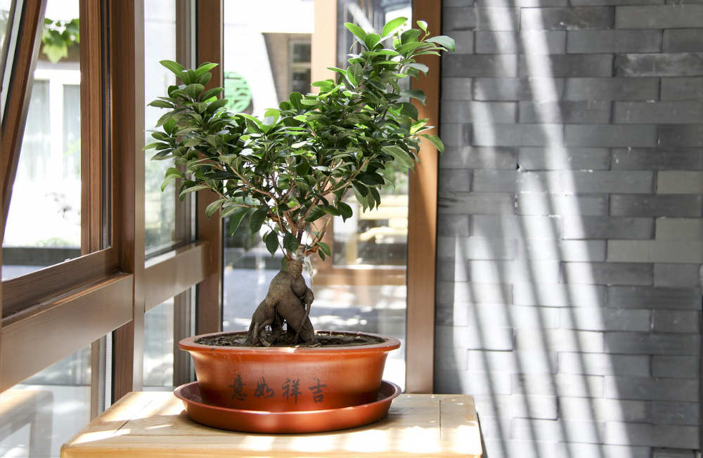 Feng Shui Bad Plants Bonsai Feng Shui - Good Or Bad? - Feng Shui Beginner