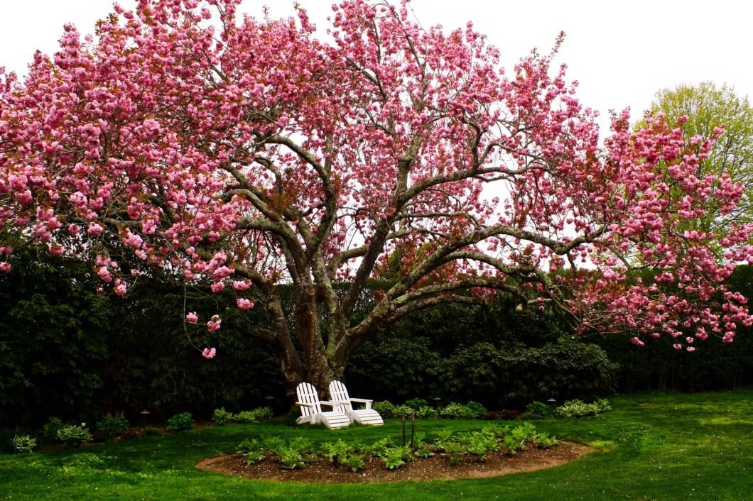 1920×1280-Cherry Tree Blooming