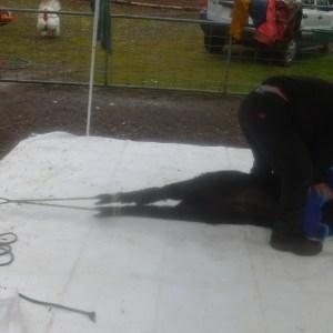 P1010161 shearing alpaca