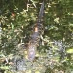 gator 6