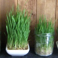 Sabzeh - Grow Green for Earth Day & Norooz