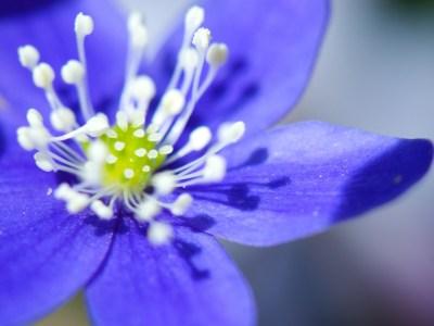 Kidneywort Wallpaper Flowers Nature Wallpapers in jpg format for free download