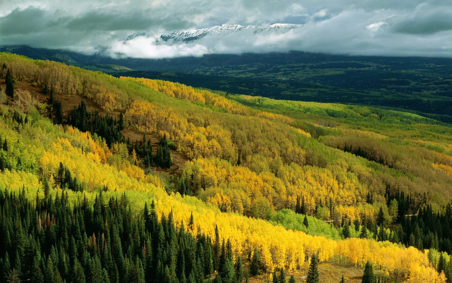 Free Widescreen Fall Wallpaper Aspen Forest In Early Fall Wallpaper Colorado World