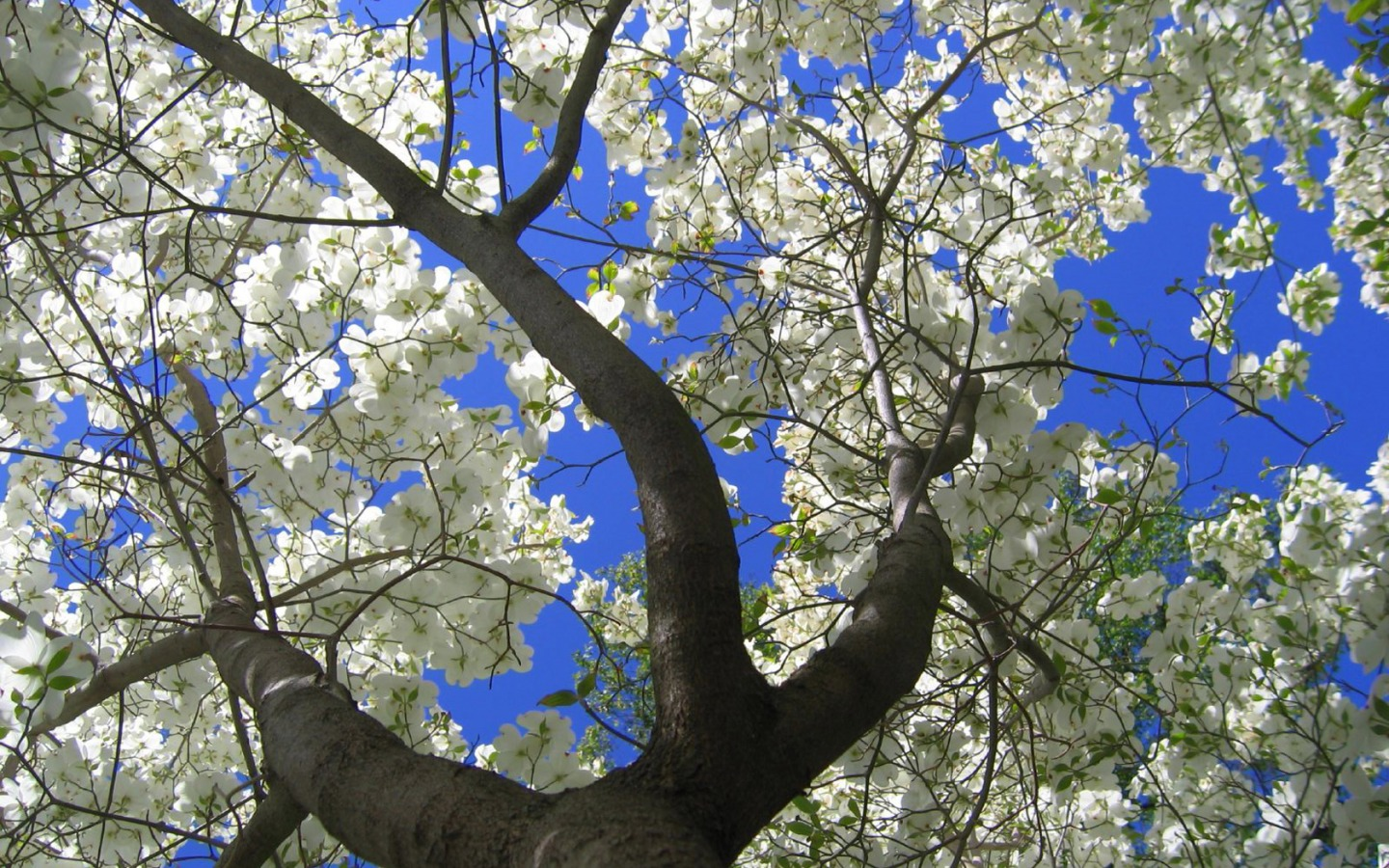 Beautiful Animated Wallpapers For Desktop Dogwood Flowers Wallpaper Spring Nature Wallpapers In Jpg