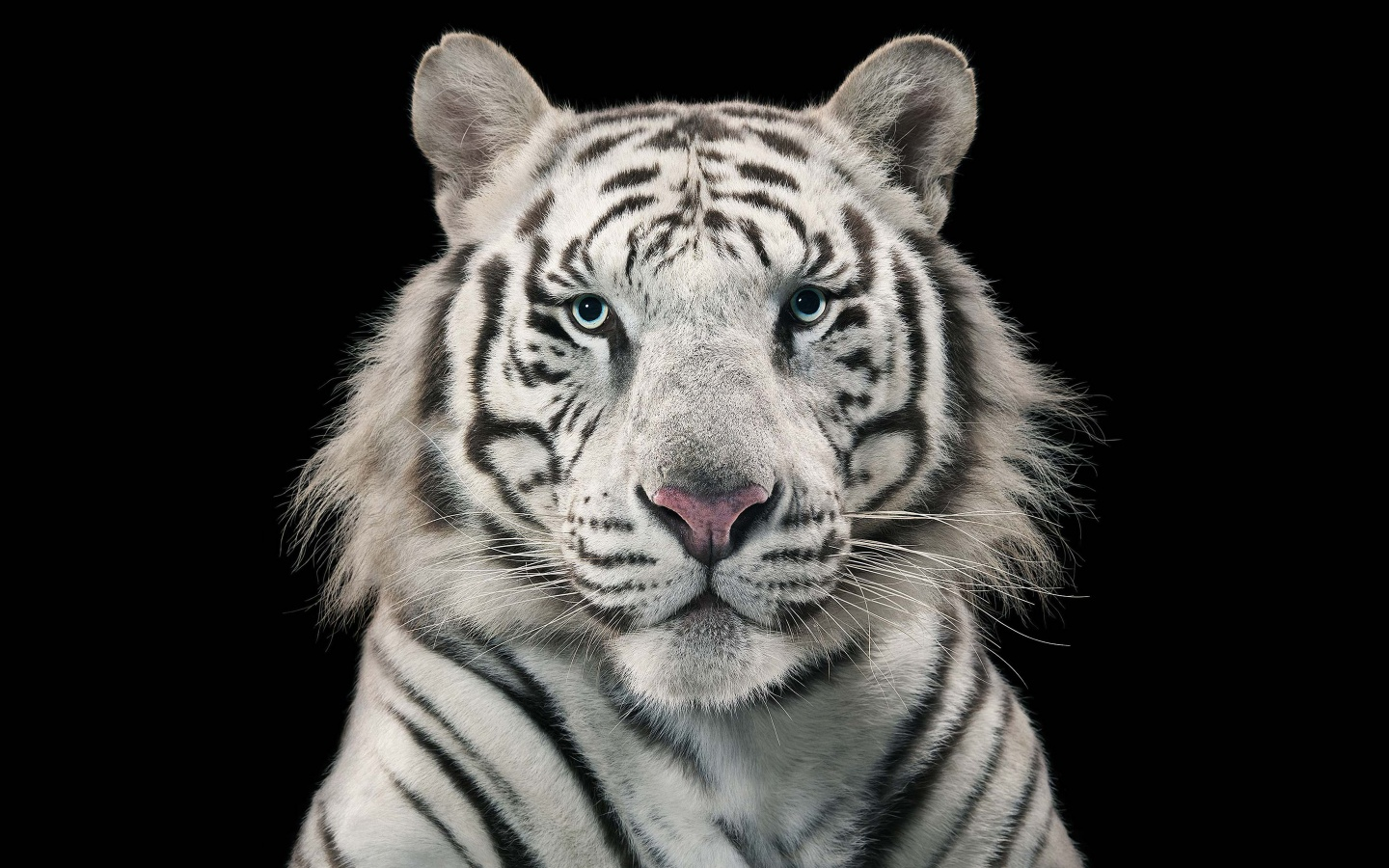 3d Wallpaper Singapore White Tiger Bengal Tiger Wallpapers In Jpg Format For Free