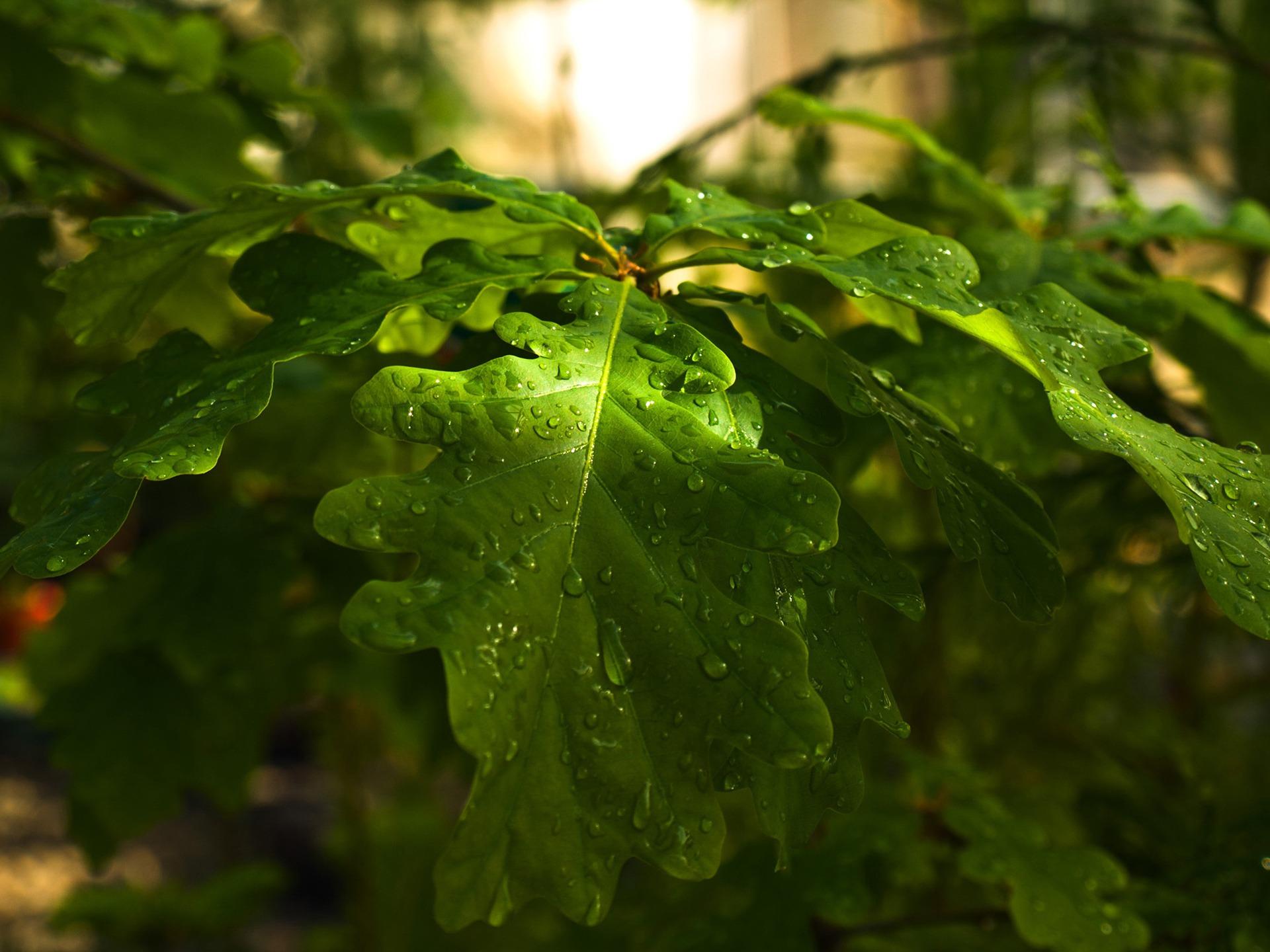 Home Screen Wallpaper Fall Dewy Oak Leaves Wallpaper Plants Nature Wallpapers In Jpg